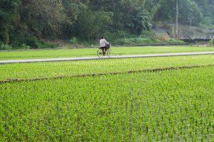 Bagaimana Kamboja Bisa Menghasilkan Beras Terbaik di Dunia